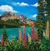 Lupins at Emerald Lake